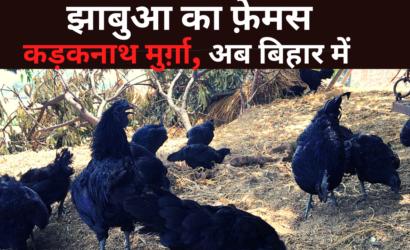 Jhabua की पहचान Kadaknath Murga इन बीमारियों के लिए है रामबाण