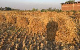 बिहार में 'धान खरीद' के सरकारी दावों के बीच क्या है जमीनी हकीकत?